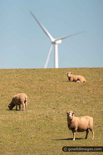Sheep Power