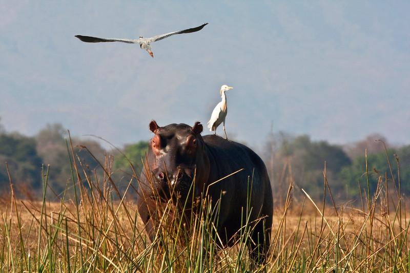 NEW 7 9 ZAMBEZI HIPPO + PASTE BIRD FLIGHTZIMBABWENEW 7 9 ZAMBEZI HIPPO + PASTE BIRD FLIGHT.jpg