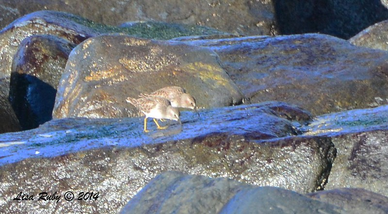 Least Sandpipers - 12/29/2014 - Sunset Cliffs