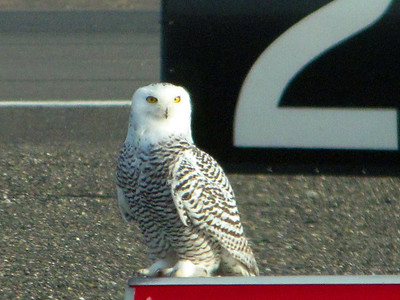 Snowy Owl at Pasco Airport