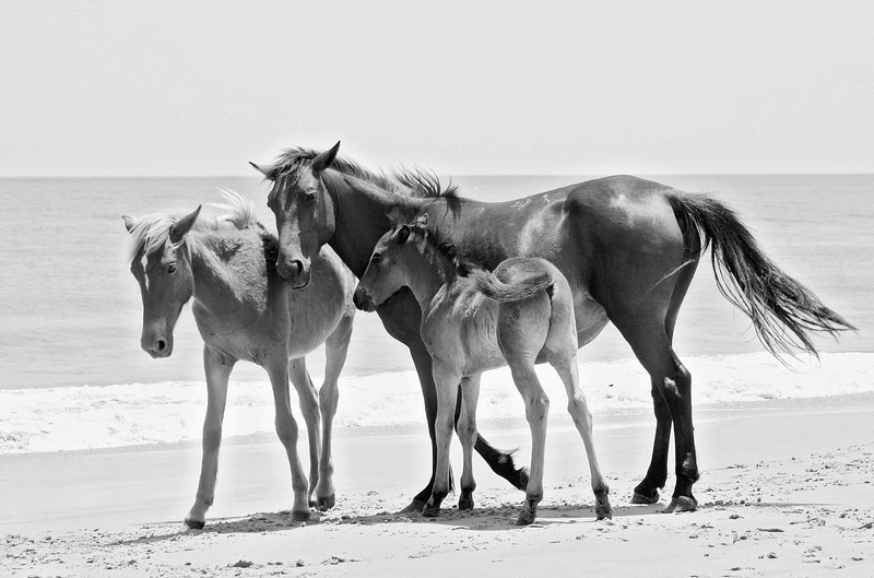 Wild horse family on the beach