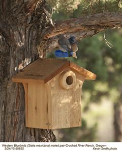 Western Bluebirds P68855.jpg