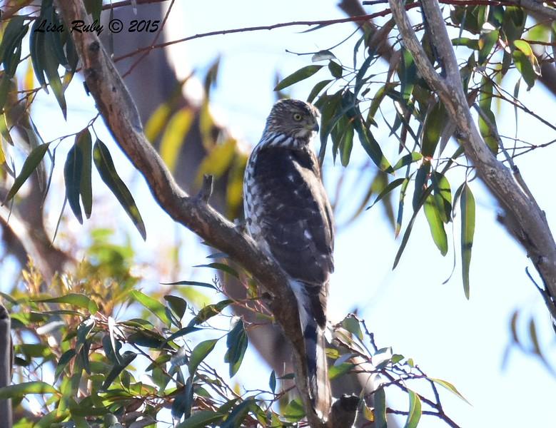 Immature Cooper's Hawk - 12/29/2015 - Bernardo Bay area