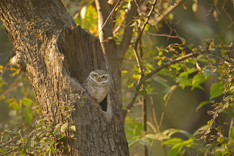 Spotted Owlet (Athene brama) staring from his nest in a tree