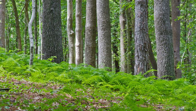 bright green ferns highlight tree trunks