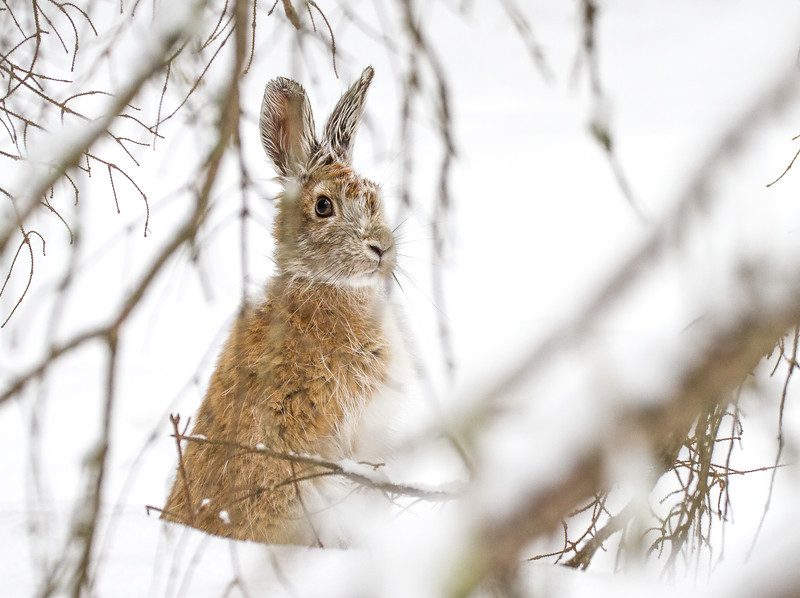 Snowshoe Hare Warren Nelson Memorial Bog Sax-Zim Bog MN IMG_0839.jpg