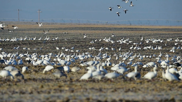 11-08-14 Snow Geese Videos