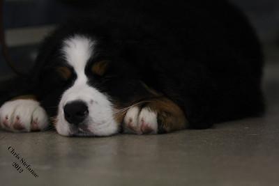 BMDCA 2012 15-18 mo Dog