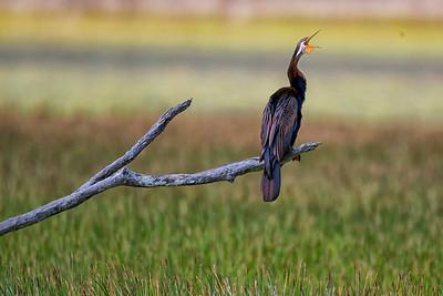 Cormorants & Darter