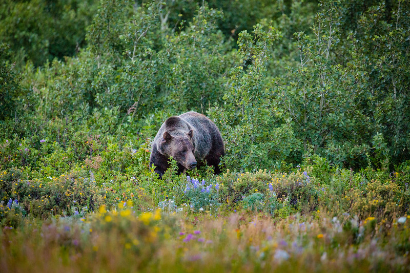 Hunting for Huckleberries