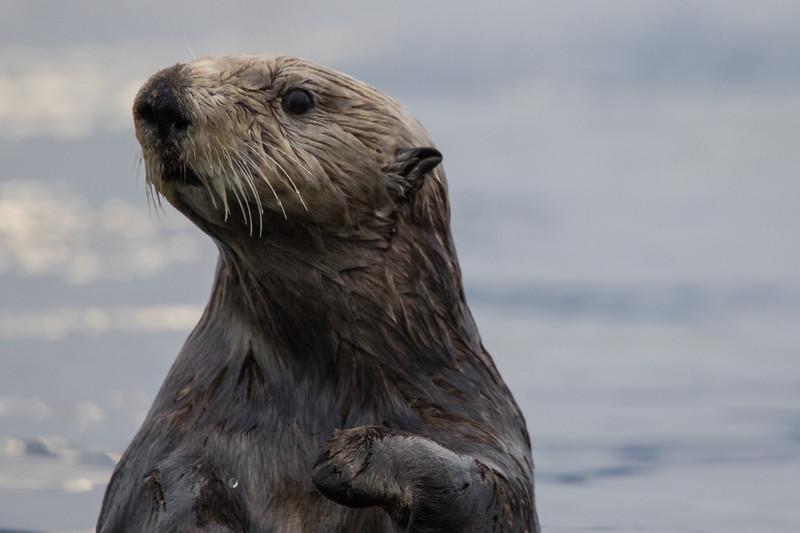 Sitka Alaska Otters 2019-1.jpg