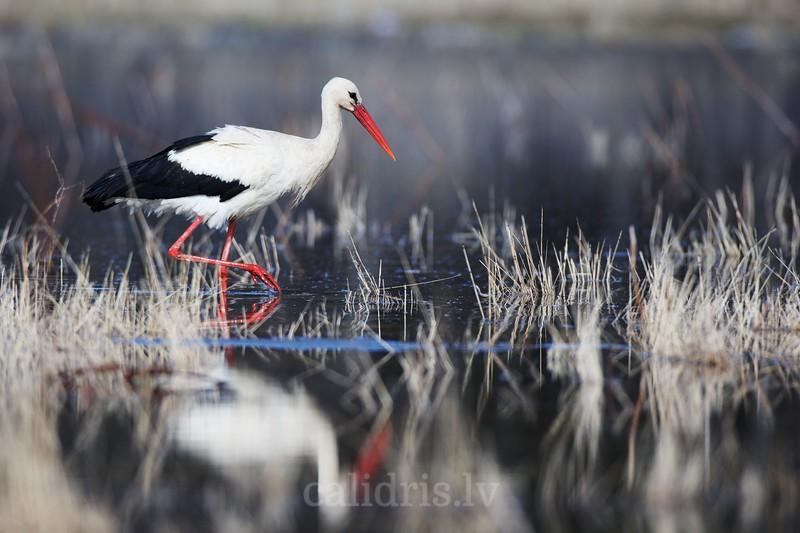 White stork walks in flooded plane in spring