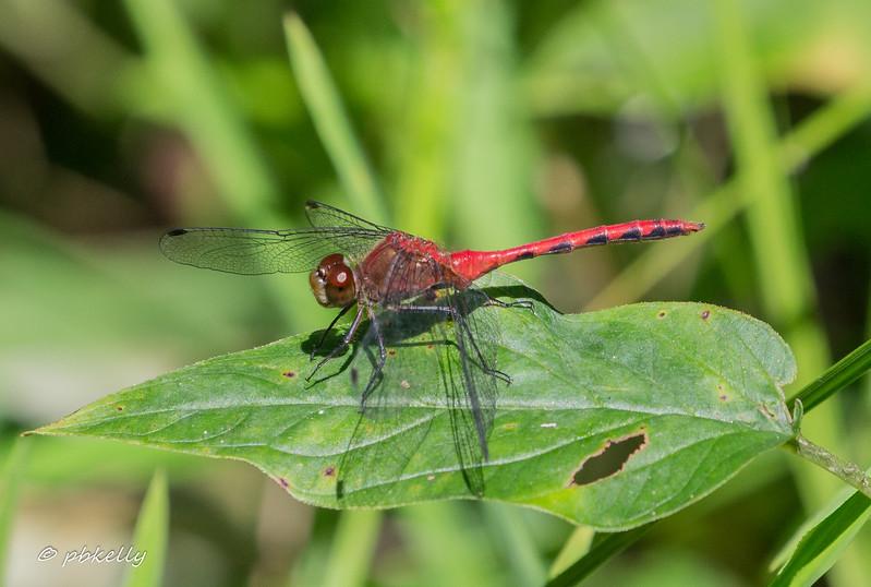 07-31-17. Nice bright Ruby Meadowhawk