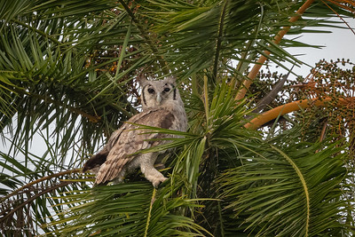 Eagle-Owl, Verreaux's (monotypic)