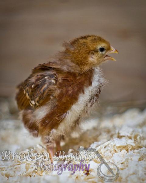 Chicks046high.JPG