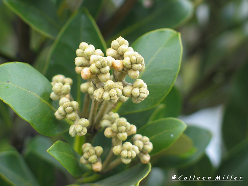 Avicennia marina ssp. australasica / White Mangrove (r)