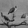 Peafowl perched on the trunks of dead trees in a lake in Ranthambhore national park