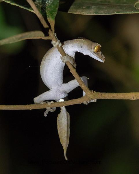 Leaf-tailed Gecko (Uroplatus finiavana)