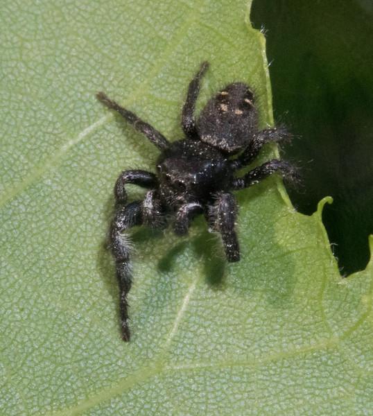 Phiduppus species per Chad Heins who is leaning towards P. purpuratus jumping spider Jumper male Skogstjarna Carlton County MNDSC09326.jpg