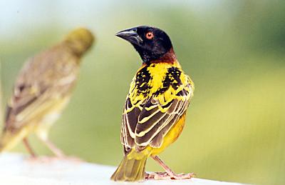 The Gambia  Birds  (58 Species)