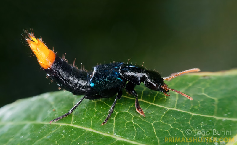 Rover beetle with an orange tail