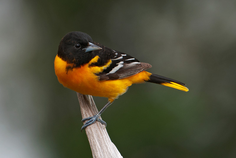 Oriole - Baltimore - male - Dunning Lake, MN - 10