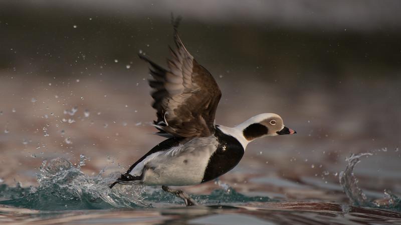 Long-tailed Duck, Clangula hyemalis. Båtsfjord, Norway.