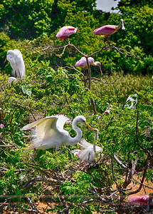 Great Egret offers a twig to his mate for nest-building as Spoonbills look on, Smith Oaks Rookery, High Island, Texas