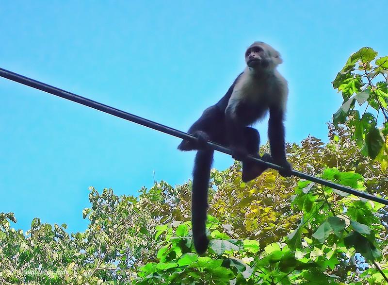 310-0900-ManuelAntonioPark-CapuchinMonkey.jpg