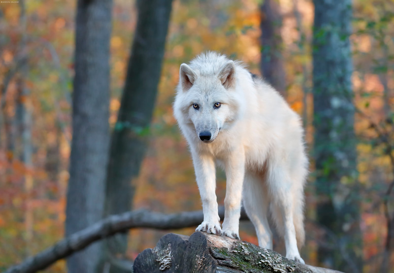 Arctic Wolf @ Worthington State Forest, NJ