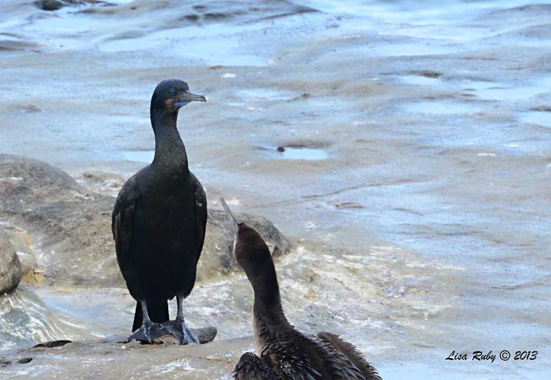 Brandt's Cormorant - La Jolla Cove - 12/1/13