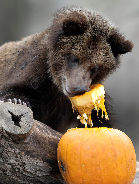 . One of the Cleveland Metroparks Zoo\'s four 11-month-old grizzly bear cubs enjoys a pumpkin for a snack at the Zoo in Cleveland on Tuesday, Nov. 22, 2011.  Besides providing the animals with enrichment, the pumpkins are a preview to the treats many of the animals will receive this coming Thursday, which is Thanksgiving Day.  The Zoo is open and free to the public on Thanksgiving Day as well. (AP Photo/Amy Sancetta)