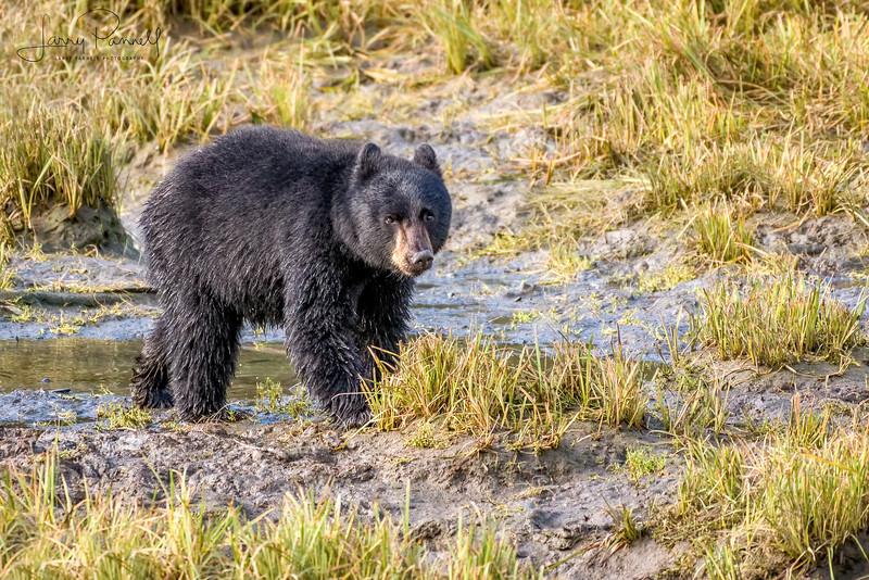 Black Bear Cub - Ketchikan