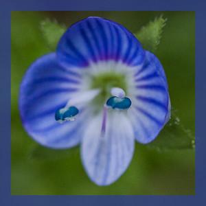Veronica persica (Plantaginaceae)