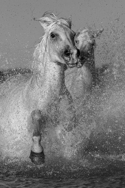 Power! Camargue White Horses huge splashing run.