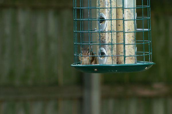 Chipmunk in Birdfeeder
