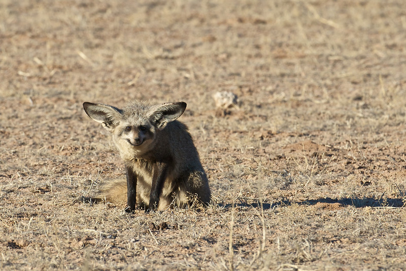 Bat-eared fox, Kgaligadi Transfrontier Park, South Africa