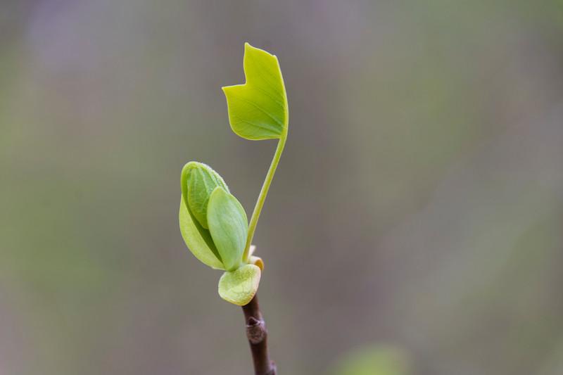 Spring-sprung-tulip-poplar.jpg