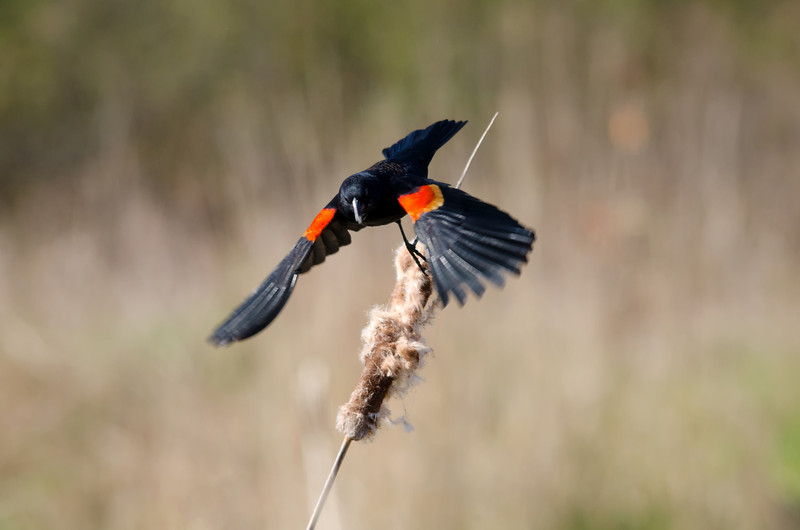 2014 April 2 swan Lake Rithets Bog-redwingblackbird-1.jpg