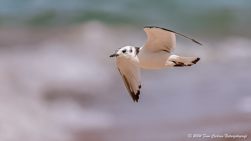 Ride (Rissa tridactyla - Black-legged kittiwake)