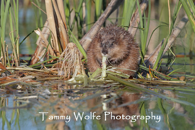 Beavers and Muskrats