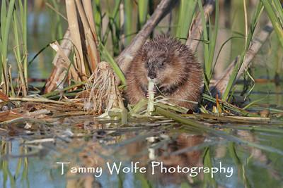 Beavers and Muskrats