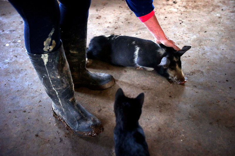 . Farmer Lindy Haynes pats one of the more than 25 pigs she lives with in her home on her property known as \'Pigsville\' in the New South Wales town of Mudgee, located 250 km (155 miles) west of Sydney March 2, 2013. Haynes believes that all farm animals should be \'free range\', and allows the pigs, chickens, cats and dogs on her farm to move freely in and out of her house, with most sleeping inside at night. Picture taken March 2, 2013.    REUTERS/David Gray