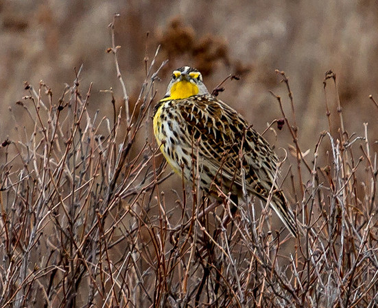 Mountain Bluebirds, bison and meadowlarks