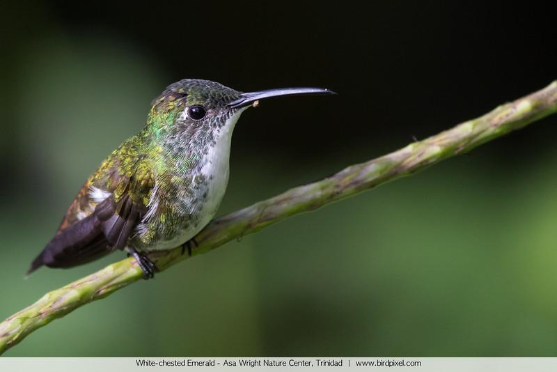 White-chested Emerald - Asa Wright Nature Center, Trinidad