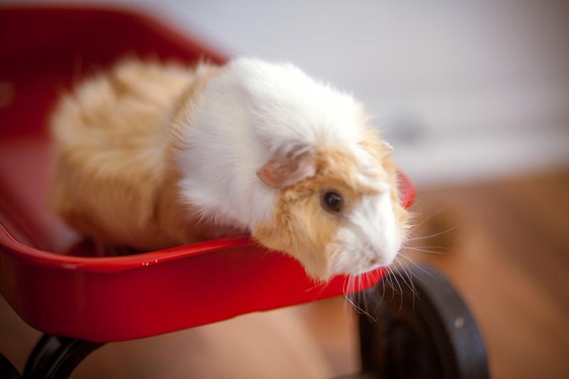 Ginea Pigs-14.jpg