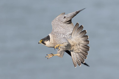 White Cliffs Peregrine's