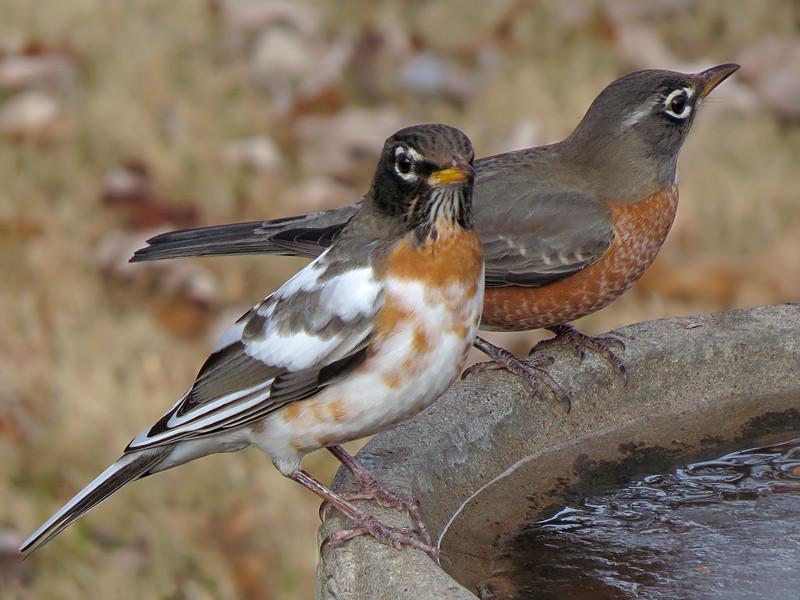 sx50_leucistic_robin_birdbath_ 236.jpg