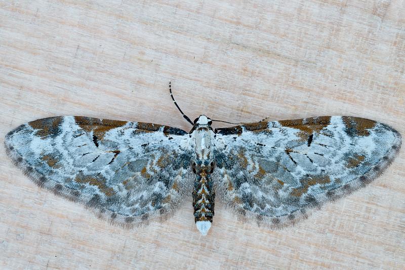 Tawny Pug Moth