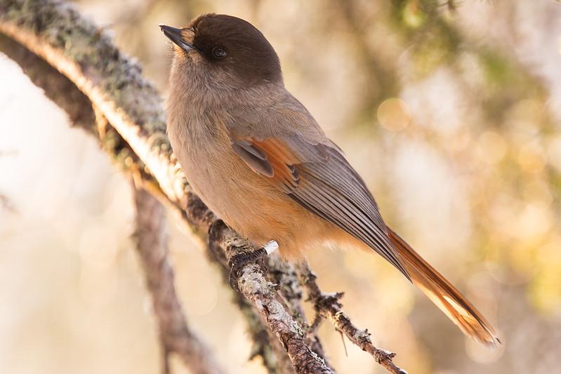 #siberianjay #visityllas #visitlapland #yllaspallasnationalpark #birdphotography #canonphotography #kuukkeli